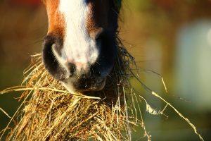 Pferd, Heu